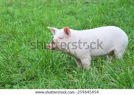 One small pig on a green grass - stock photo