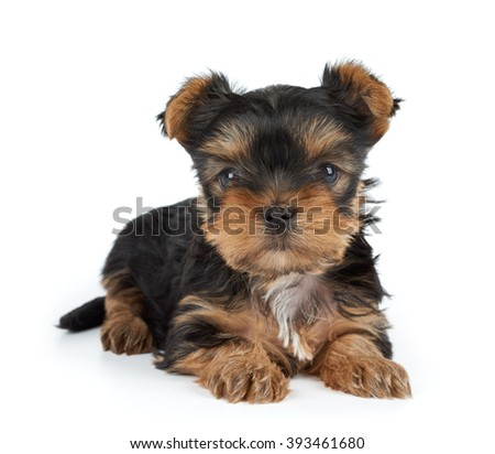 One small puppy of the Yorkshire Terrier on white - stock photo