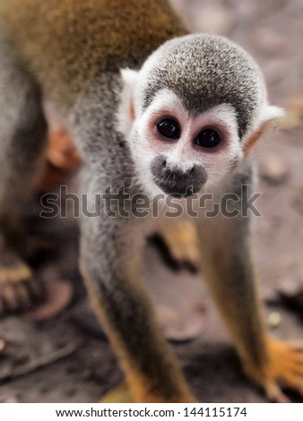 One small squirrel monkey on the ground in the Amazon rainforest on the Monkey Island on Amazon river between Colombia, Peru and Brazil. Vertical orientation, close up. - stock photo