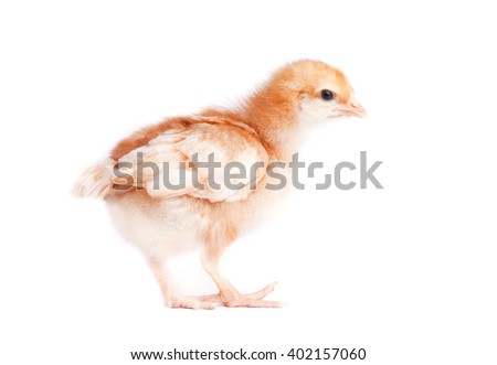 One small yellow chicken on white background