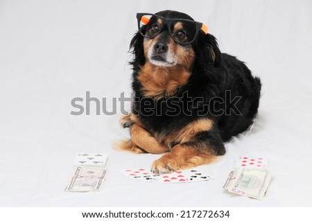 One Smart Old Black Dog Playing Poker On a White Background - stock photo