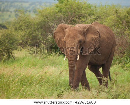 One species of African elephant, the bush elephant, is the largest living terrestrial animal, while the forest elephant is the third largest.