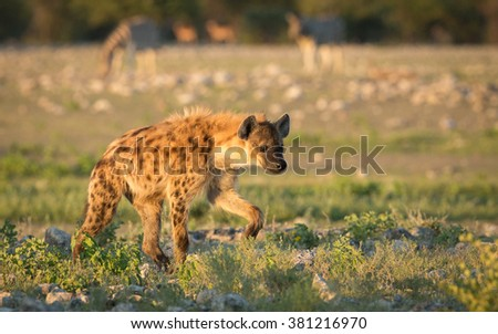 One spotted hyaena walking at dawn in Etosha in Namibia - stock photo