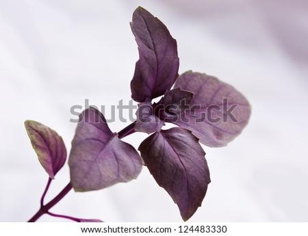 one sprig of basil seedlings purple - stock photo