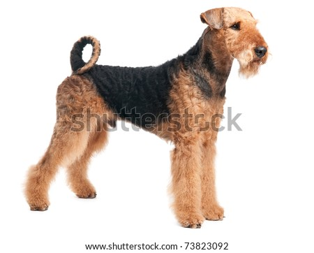 One standing Black brown Airedale Terrier dog isolated on white - stock photo