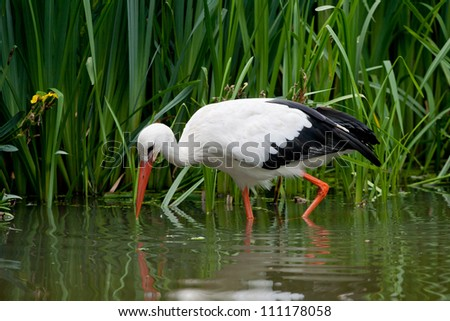 One stork is seaching for food - stock photo