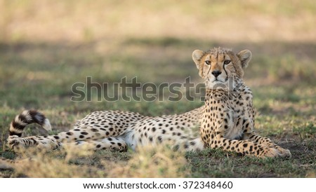 One sub adult Cheetah lying down alert, Ndutu, Serengeti, Tanzania - stock photo