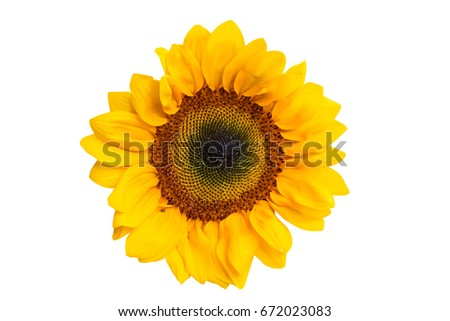 one sunflower front view on white background