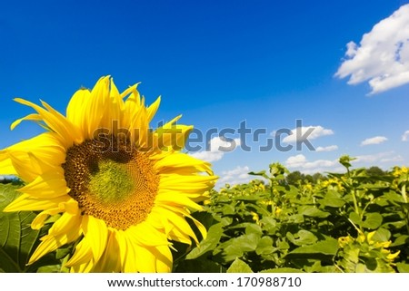 One sunflower in field over blue sky background - stock photo