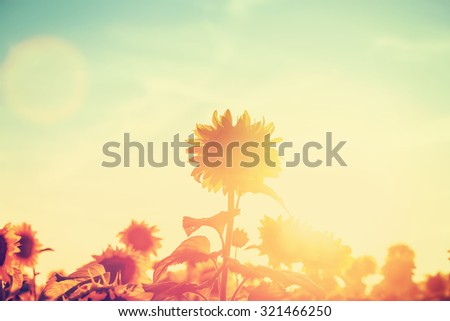 One sunflower rising above the rest.  Field at sunset.   - stock photo