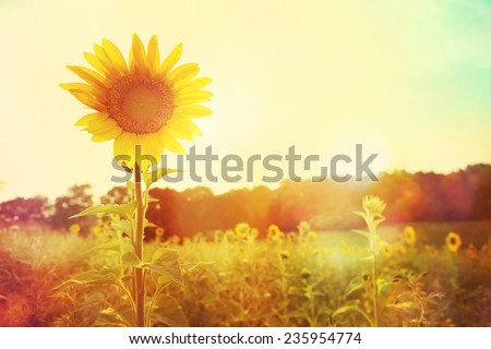 One sunflower rising above the rest. Instagram effect  - stock photo