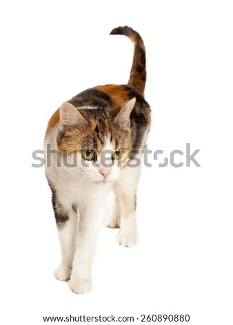 one tabby cat in studio with white background - stock photo
