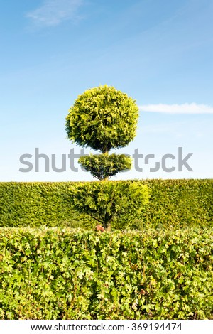 One topiary green tree with hedge on background in ornamental garden. Vibrant summertime outdoors vertical image. - stock photo