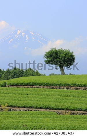 One tree in a green tea field with Mt fuji as background. Photoed in Fuji city, Shizuoka, Japan.