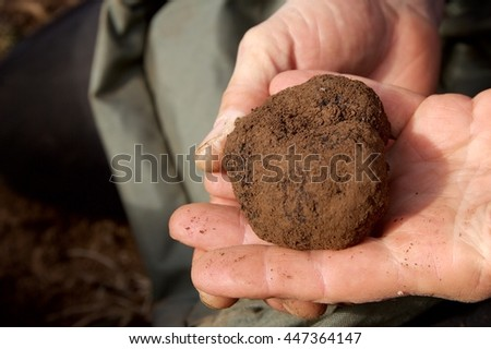 one truffle in hands, digging truffles
