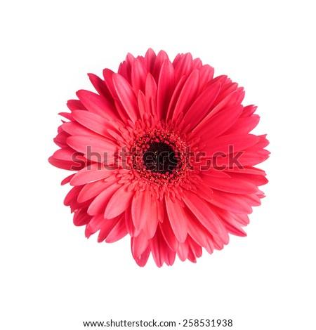 One Vibrant Pink Gerbera Daisy Closeup - stock photo