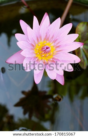 one violet lotus in water well