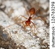 One weaver ant or green ant (Genus Oecophylla) on stone background - stock photo