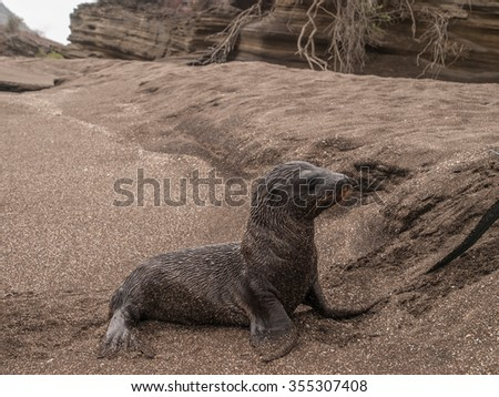 One wet and sandy baby sea lion walking around on a sandy beach perched up on two its flippers in Galapagos Islands, Ecuador. - stock photo