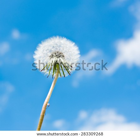 One white dandelion against blue sky with white clouds