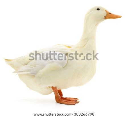 One white duck isolated on white background. - stock photo