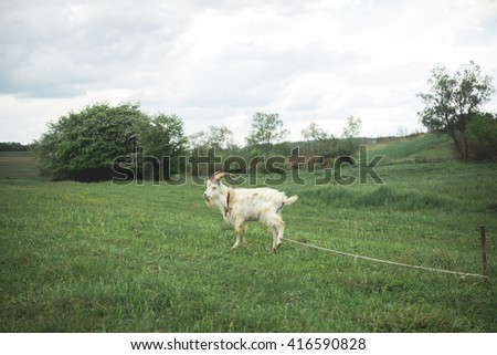 one white goat in the field on a chain