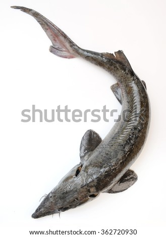 one whole Fresh sterlet fish isolated white