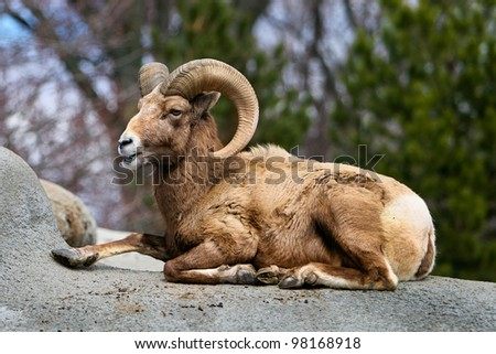one wild male bighorn sheep lying on a rock outdoors in summer - stock photo