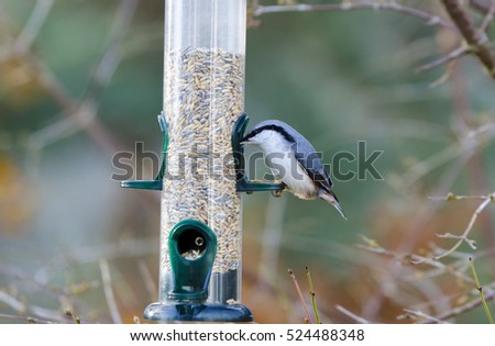 One wild nuthatch Sit in the tree and eat seed