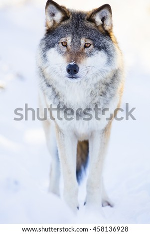One wolf stands in beautiful winter forest