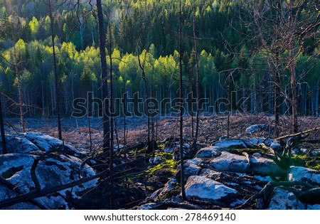 One year after a big forest fire in Sweden and a fresh wood in the background - stock photo