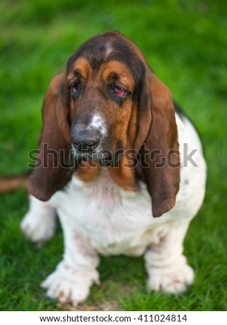 One year old Basset hound (Canis lupus familiaris) in the yard of a hobby farm. - stock photo