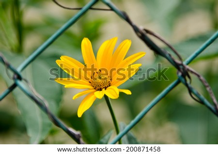 One yellow arnica flower on a background grid. - stock photo
