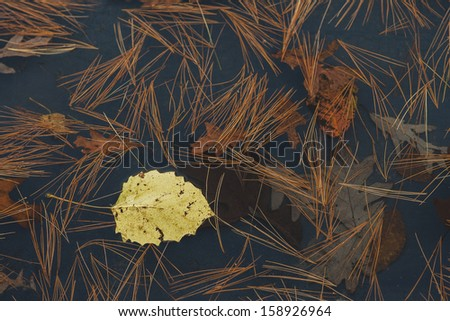 One yellow leaf floating in water with pine needles and oak leaves.