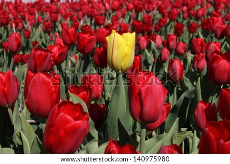 One yellow tulip in a field of bright red tulips