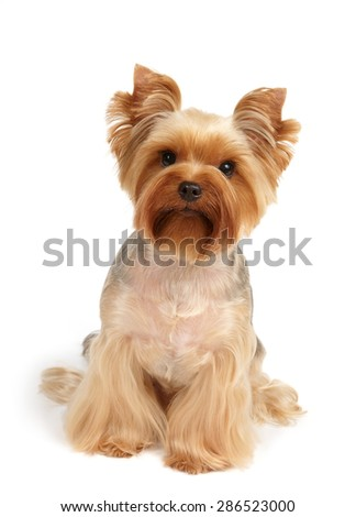 One Yorkshire Terrier after haircut and grooming sits on white background - stock photo