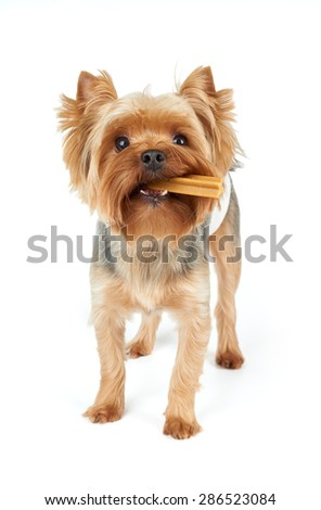 One Yorkshire Terrier chews dental stick standing on white