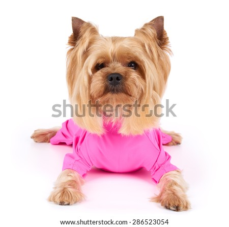 One Yorkshire Terrier in pink overalls with haircut lies on white background                                - stock photo
