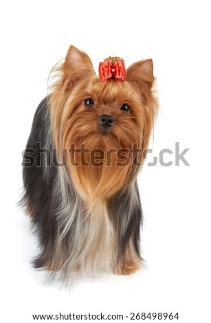 One Yorkshire Terrier with red bow stands on white backdrop. It looks up.                                 - stock photo