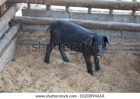 One young black pig in the pen