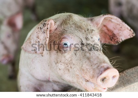 One young piglet on hay and straw at pig breeding farm at asia - stock photo