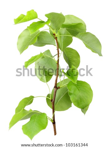 One young sprout of apple-tree with green leaf. Isolated on white background. Close-up. Studio photography. - stock photo
