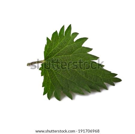 One Young stinging nettle leaf close up isolated on white background  - stock photo