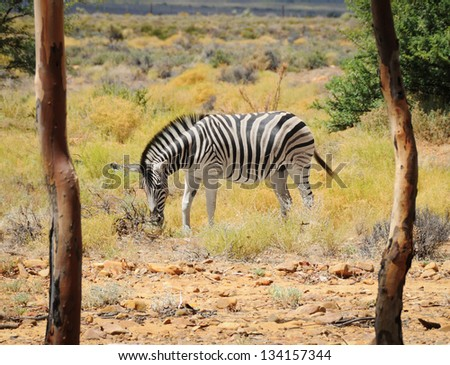 One zebra in wild african bush with two trees on a front as frame - stock photo