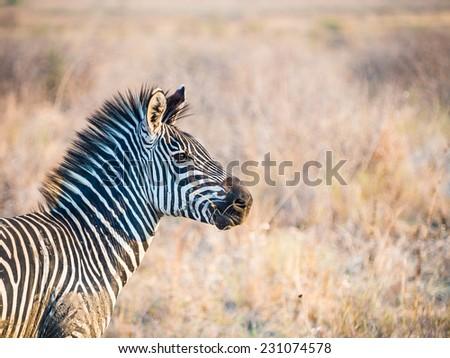 One zebra on the savanna in the Serengeti National Park in Kenya, East Africa, at sunset. Horizontal orientation. - stock photo