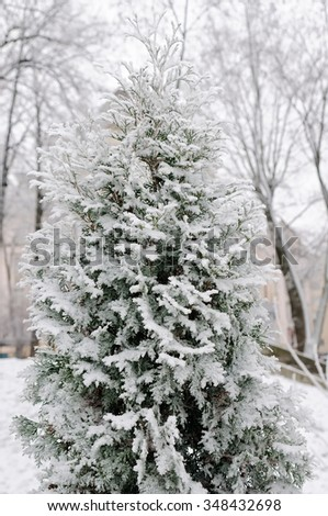oniferous (Thuja) branches covered with hoarfrost in the winter  - stock photo