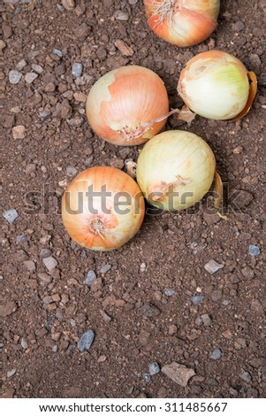 Onion , Assorted farm fresh onions. Agriculture production