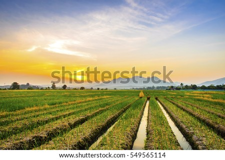 Onion farm in countryside at sunset