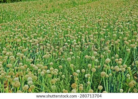 Onion field, Padana plain near Ravenna,  - stock photo