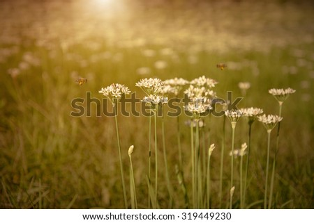 Onion flowers bloom in the garden at sunset - stock photo